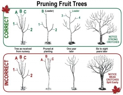 five to eight lateral branches are sufficient for a mature tree the lateral branches should be spaced 8 to 18 inches apart